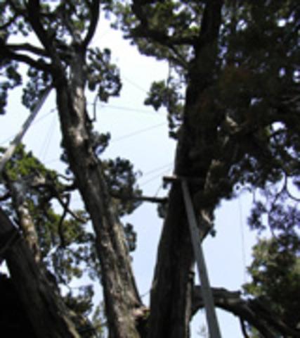 大徳寺のイブキの写真